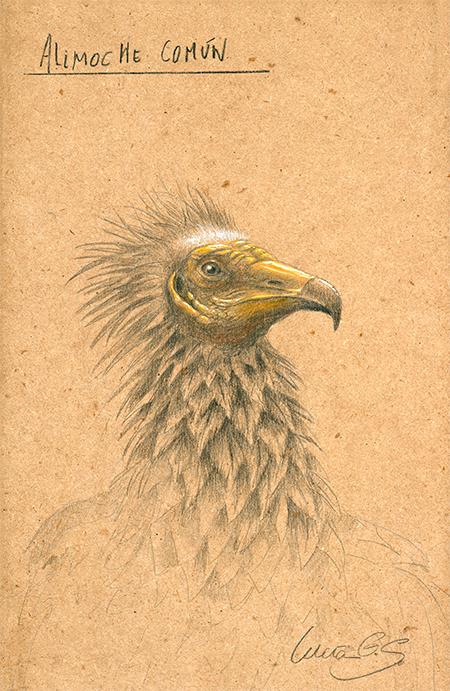 Alimoche común / Egyptian vulture / Neophron percnopterus - Grafito / graphite - 24 x 38 cm - © Lucía Gómez Serra