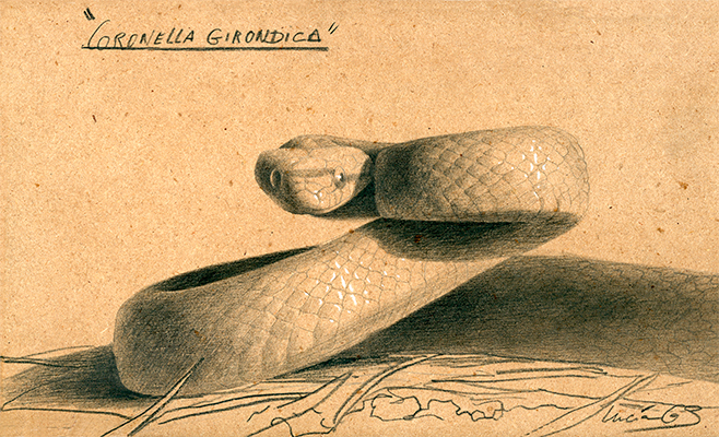 Culebra lisa meridional / Coronella girondica - Grafito / graphite - 24 x 38 cm - © Lucía Gómez Serra