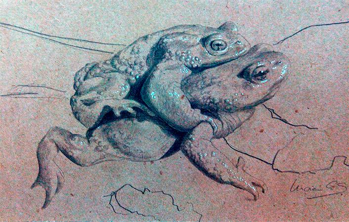 Sapo común / Common Toad / Bufo bufo - Grafito / graphite - 24 x 38 cm - © Lucía Gómez Serra