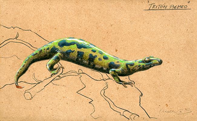 Tritón pigmeo / Triturus pygmaeus -Grafito / graphite - 24 x 38 cm - © Lucía Gómez Serra