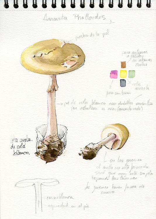 Boceto - Amanita phalloides - © Lucía Gómez Serra
