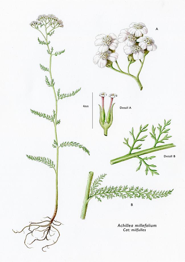 Achillea millefolium / Milhojas