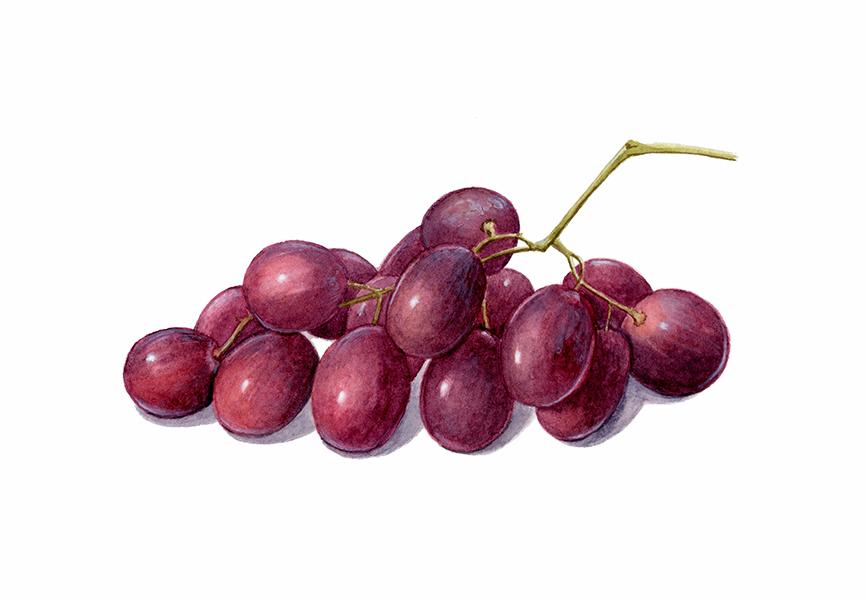 Vitis vinifera - Acuarela -© Ester Gómez Serra