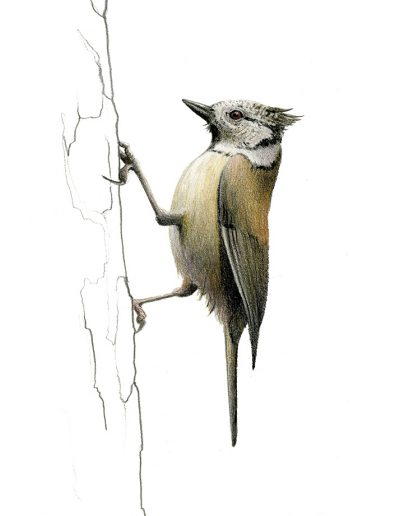 Herrerillo capuchino / Crested tit / Lophophanes cristatus - Lápices de colores / colour pencils - © Lucía Gómez Serra