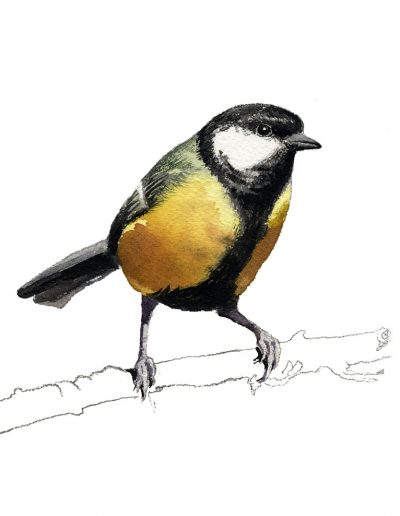 Carbonero común / Great tit /Parus major - Acuarela / watercolour - © Lucía Gómez Serra