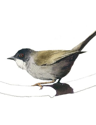 Curruca cabecinegra / Sardinian warbler / Sylvia melanocephala - Acuarela / Watercolour - © Lucía Gómez Serra