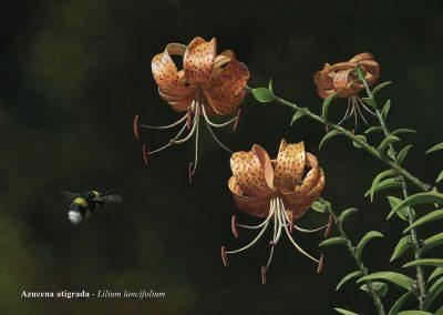 Azucena atigrada / Lilium lancifolium - Óleo /oil painting - © Lucía Gómez Serra