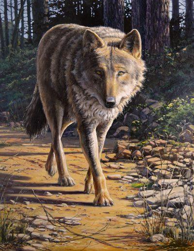 Lobo ibérico, iberian wolf, canis lupus signatus - © Lucía Gómez Serra