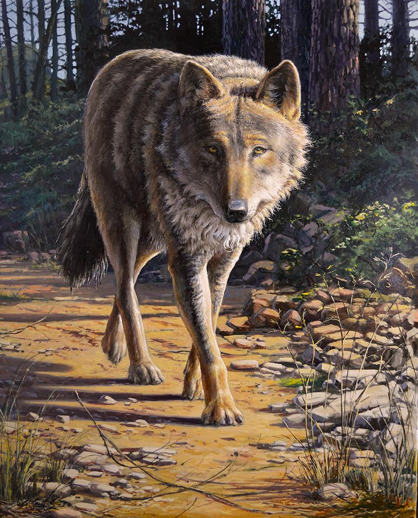Lobo ibérico, canis lupus signatus