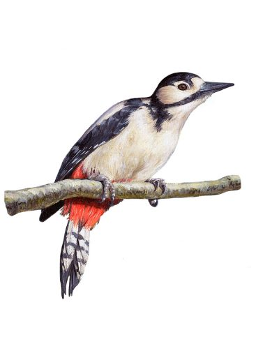 Pico picapinos hembra / Great spotted woodpecker / Dendrocopos major - Acrílico / acrylic © Lucía Gómez Serra
