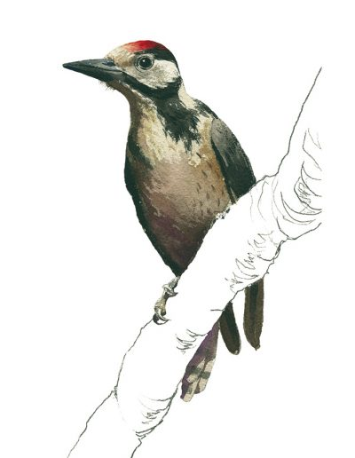 Pico picapinos / Great spotted woodpecker / Dendrocopos major - Acuarela / Watercolour - © Lucía Gómez Serra