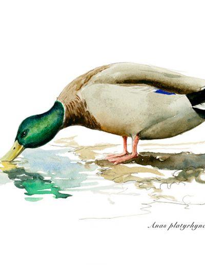 Ánade real o azulón / Mallard /Anas platyrhynchos – Acuarela / Watercolour – © Lucía Gómez Serra