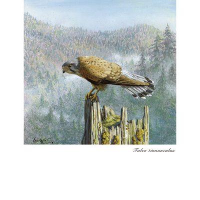 Cernícalo vulgar / Common kestrel / Falco tinnunculus - © Lucía Gómez Serra - Print