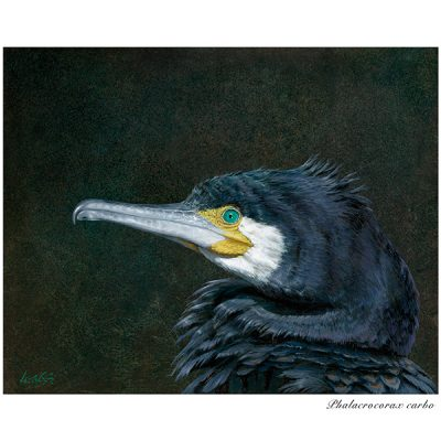 Cormorán grande / Great cormorant / Phalacrocorax carbo - ©Lucía Gómez Serra - Print