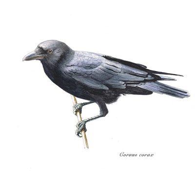 Cuervo grande / Common raven / Corvus corax - ©Lucía Gómez Serra - Print