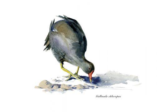 Gallineta común / Common moorthen / Gallinula choropus - © Lucía Gómez Serra - Print