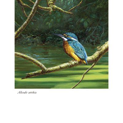 Martín pescador común / Common kingfisher / Alcedo atthis -© Lucía Gómez Serra - Print