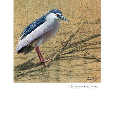 Martinete común / Night heron / Nycticorax nycticorax – © Lucía Gómez Serra - Print