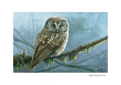 Mochuelo boreal / Tengmalm's owl / Aegolius funereus – © Lucía Gómez Serra -Print