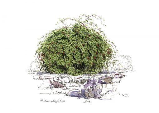 Rubus ulmifolius - © Lucía Gómez Serra - Print