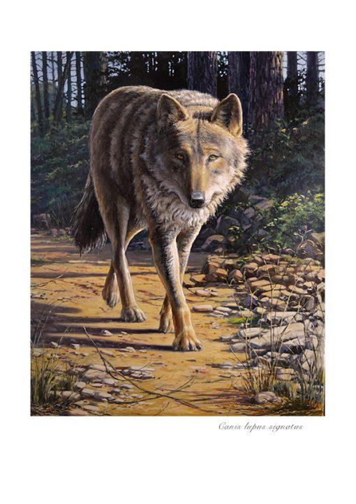 Lobo ibérico / Canis lupus signatus - ©Lucía Gómez Serra - Lámina