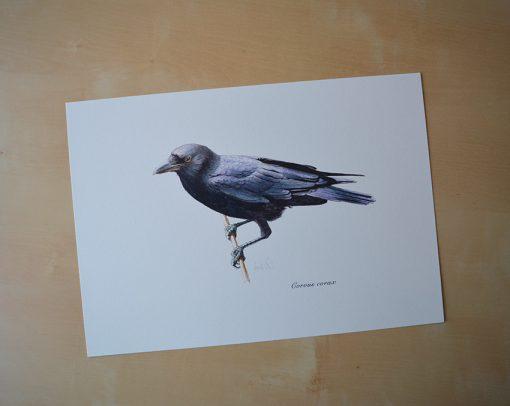 Cuervo grande / Common raven / Corvus corax - © Lucía Gómez Serra - Print