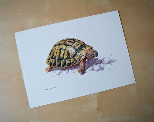 Tortuga mora / Testudo greca - © Lucía Gómez Serra - Print