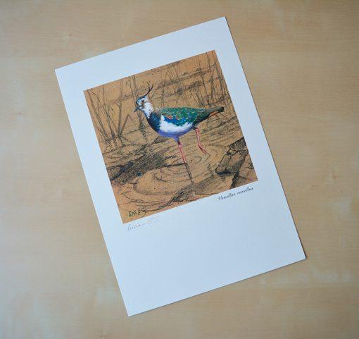 Avefría / Nothern lapwing / Vanellus vanellus – © Lucía Gómez Serra - Print